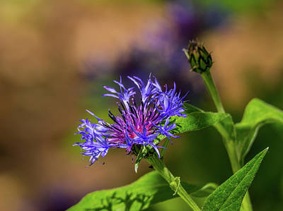 Design Pics - Cornflower by Marv Vandehey