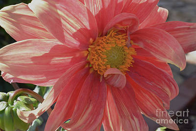 Sean - Cotton Candy Dahlia by Debby Pueschel