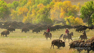 Rights Managed Images - Cowboys And Buffalo Royalty-Free Image by Mitch Shindelbower