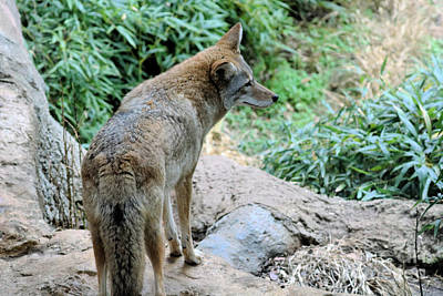 New Years - Coyote On The Prowl by Diann Fisher