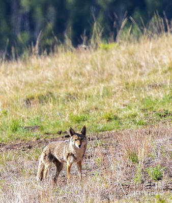 Steven Krull Royalty-Free and Rights-Managed Images - Coyote Portrait by Steven Krull