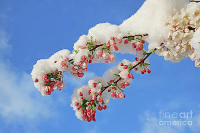 Popstar And Musician Paintings Royalty Free Images - Crabapple Blossoms and April Snow 2270 Royalty-Free Image by Jack Schultz