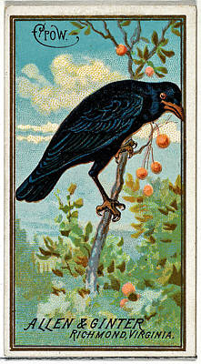 Animals Paintings - Crow from the Birds of America series N4 for Allen  Ginter Cigarettes Brands by Arpina Shop