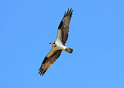 Animals Royalty-Free and Rights-Managed Images - Cruising Osprey by Debbie Oppermann