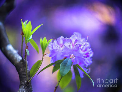 Sean Rights Managed Images - Crystal Purple Azaleas Blooms Royalty-Free Image by Mike Reid