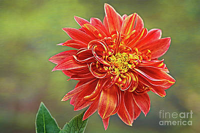 Whimsically Poetic Photographs - Curly Petals Dahlia by Kaye Menner by Kaye Menner