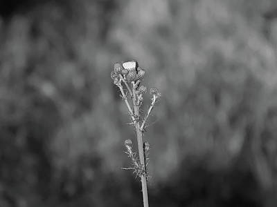 Going Green - Cursed Thistle Black And White by Chris Mercer