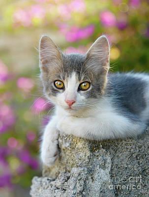 Photograph - Cute Bicolor Kitten by Katho Menden