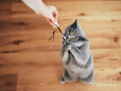 Amy Hamilton Animal Collage - Cute British cat playing with rod toy held by a woman hand. by Michal Bednarek