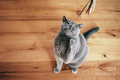 Amy Hamilton Animal Collage - Cute British cat playing with rod toy holding it with teeth. by Michal Bednarek