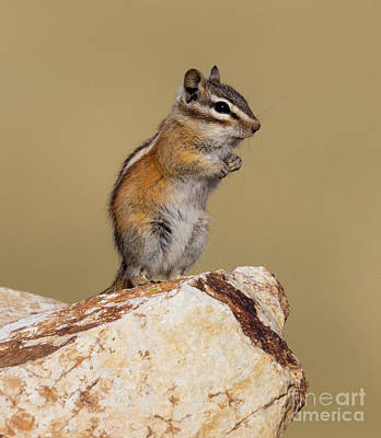 Steven Krull Royalty-Free and Rights-Managed Images - Cute Chipmunk by Steven Krull