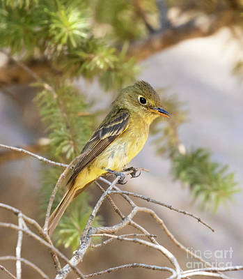 Steven Krull Royalty-Free and Rights-Managed Images - Cute Little Cordilleron Flycatcher  by Steven Krull