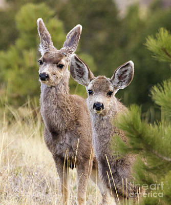 Steven Krull Royalty-Free and Rights-Managed Images - Cute Mule Deer Herd by Steven Krull