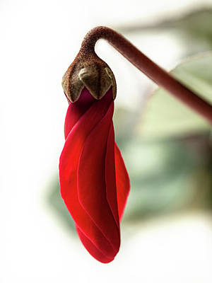 Fun Patterns - Cyclamen bud by Al Fio Bonina