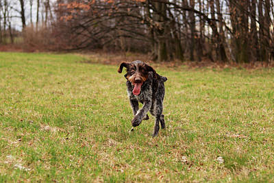 Wild And Wacky Portraits Rights Managed Images - Czech pointer enjoys her freedom in wild nature after leaves the yard. Hunting dog with funny expression in meadow. Royalty-Free Image by Vaclav Sonnek