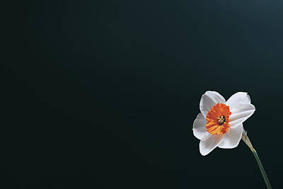 Ethereal - Daffodil on Black by Scott Norris