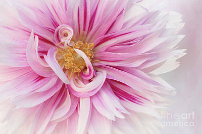 Rights Managed Images - Dahlia Flower With Swirls Royalty-Free Image by Linda D Lester