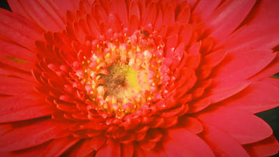Marvelous Marble - Dahlia in red color by Nilu Mishra
