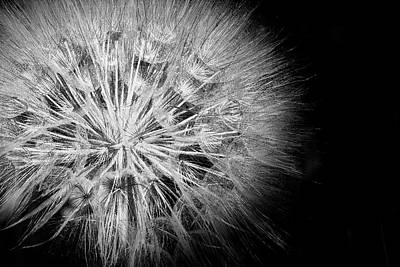Classical Masterpiece Still Life Paintings - Dandelion  in Black and White by Randall Nyhof