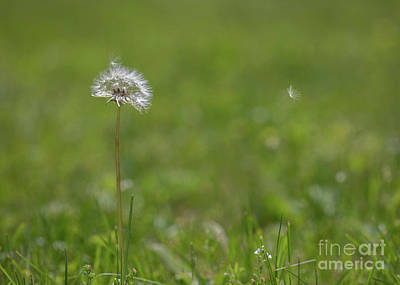 Royalty-Free and Rights-Managed Images - Dandelion Seedhead in the Wind by Diane Diederich