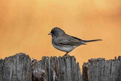 Christmas Christopher And Amanda Elwell - Dark-eyed Junco at Sunrise by Debra Martz
