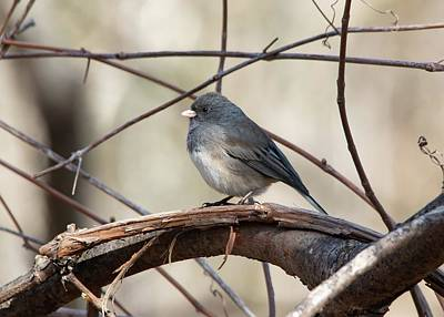Black And White Flower Photography - Dark-eyed Junco Spring by Marlin and Laura Hum
