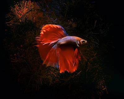 Animals Royalty-Free and Rights-Managed Images - Dark Red Copper Betta Fish by Scott Wallace Digital Designs