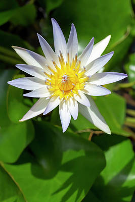 Photograph - Daubeny's Water Lily by Dawn Cavalieri