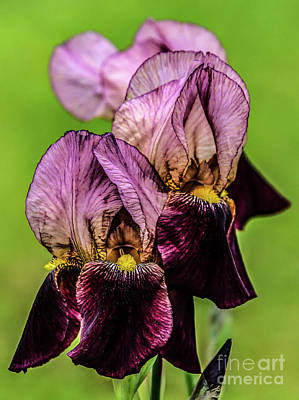 Scifi Portrait Collection - Dazzling Irises Almost Looks Like Velvet by Cindy Treger