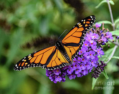 Food And Flowers Still Life Rights Managed Images - Dazzling Monarch Royalty-Free Image by Cindy Treger
