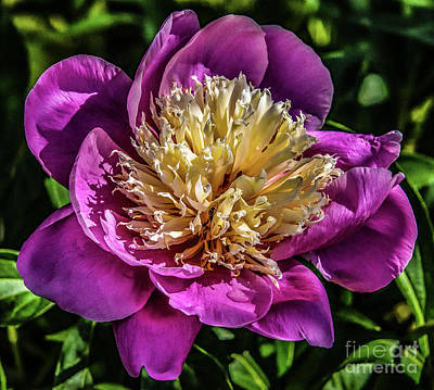 New Years - Dazzling Sorbet Peony by Cindy Treger