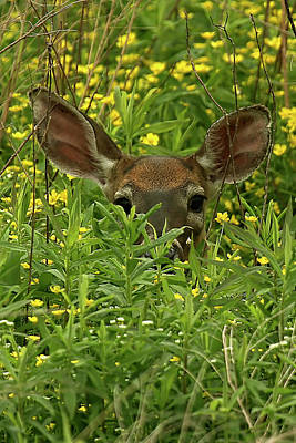 Lori A Cash Royalty-Free and Rights-Managed Images - Deer Among Wildflowers by Lori A Cash