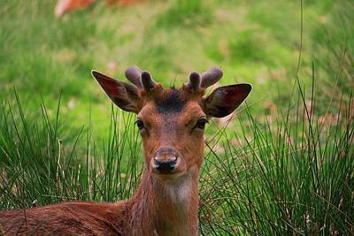 Pop Art Rights Managed Images - Deer Looking Forward Royalty-Free Image by Watto Photos