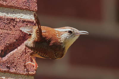 Photograph - Defiant Wren 2496 by John Moyer