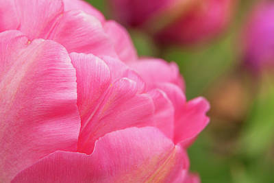 Royalty-Free and Rights-Managed Images - Delicate Pink Tulip by Andrew Soundarajan