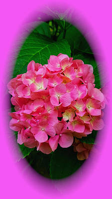 Photograph - Delicious Pink Hydrangea by Clive Littin