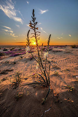 Photograph - Desert Lily at Sunset by Peter Tellone