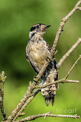 Book Quotes - Dignified Male Downy Woodpecker by Cindy Treger