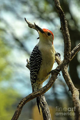 Animals Royalty-Free and Rights-Managed Images - Dignified Red-bellied Woodpecker by Cindy Treger