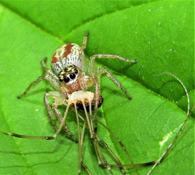 Bath Time Rights Managed Images - Dimorphic Jumping Spider Royalty-Free Image by Joshua Bales