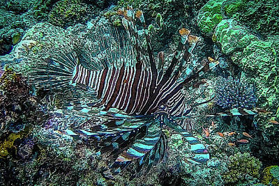 Photograph - DiveArt - Lionfish Hunting by Ifototravel - Irene And Tony Isaacson