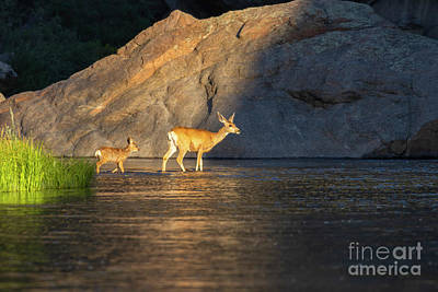 Curated Beach Towels - Doe and Fawn Crossing River by Steven Krull