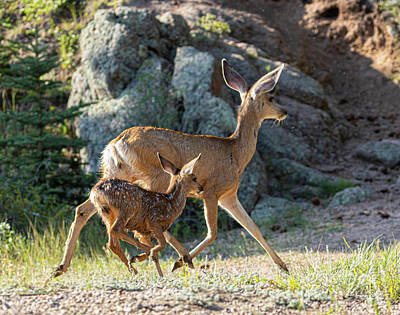 Steven Krull Royalty-Free and Rights-Managed Images - Doe Mule Deer and Fawn by Steven Krull