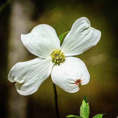 Pop Art Rights Managed Images - Dogwood flower Royalty-Free Image by Alexey Stiop