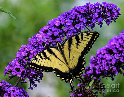 Animals Royalty-Free and Rights-Managed Images - Double Beauty - Eastern Tiger Swallowtail by Cindy Treger