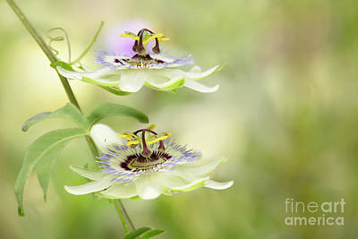 Vermeer Rights Managed Images - Double Passion Flower Royalty-Free Image by Linda D Lester
