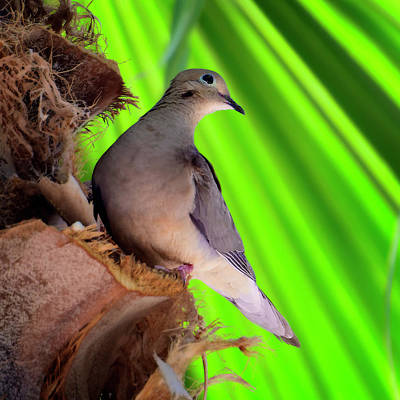 Mark Myhaver Photo Rights Managed Images - Dove On Palm s121429 Royalty-Free Image by Mark Myhaver