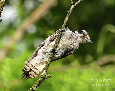 Abstract Stripe Patterns - Downy Woodpecker Hanging In There by Cindy Treger