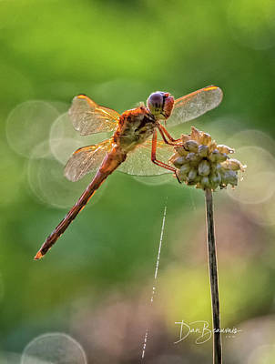 Dan Beauvais Royalty-Free and Rights-Managed Images - Dragonfly 8108 by Dan Beauvais