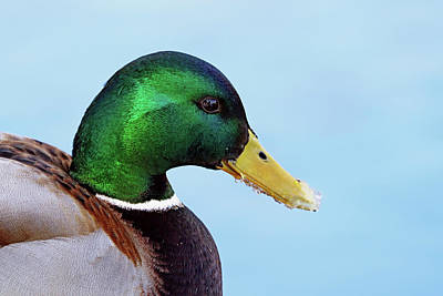 World War Two Production Posters - Drake Mallard Portrait I by Debbie Oppermann